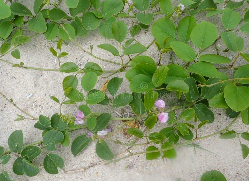 Petite vigne verte de plage avec les fleurs roses images stock