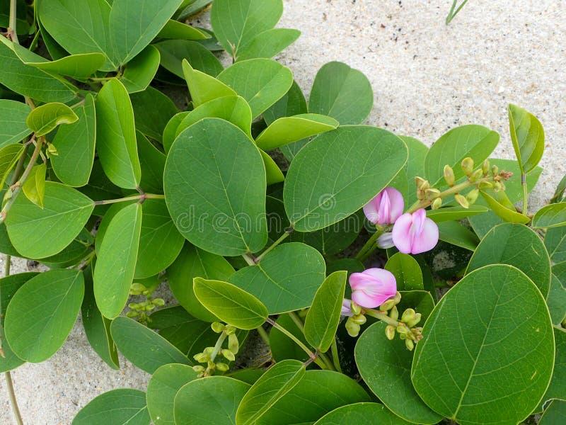 Petite vigne verte de plage avec les fleurs roses photo libre de droits
