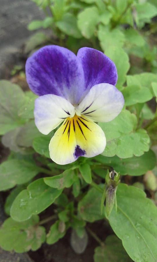Petite violette images libres de droits