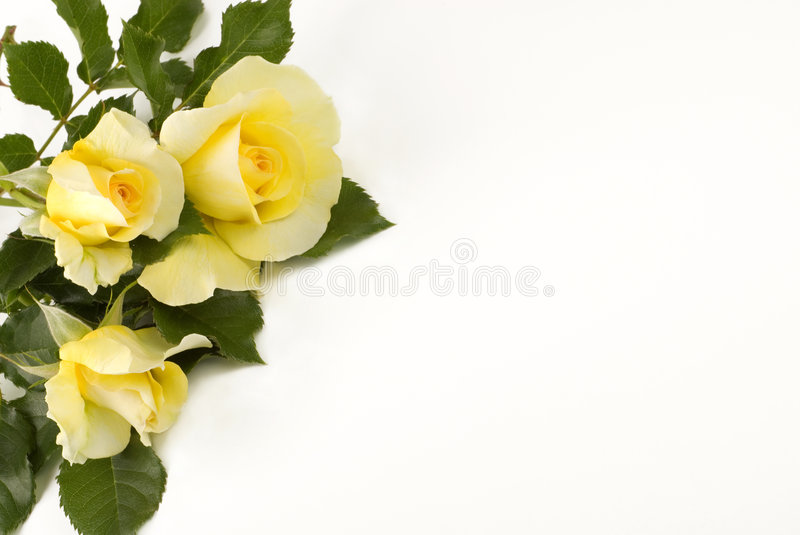 Petite Yellow Roses White Background stock images
