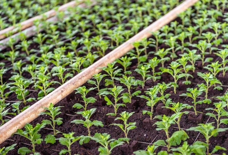 Petites coupes nouvellement plantées de chrysanthème entre la gaze du Cl photographie stock libre de droits