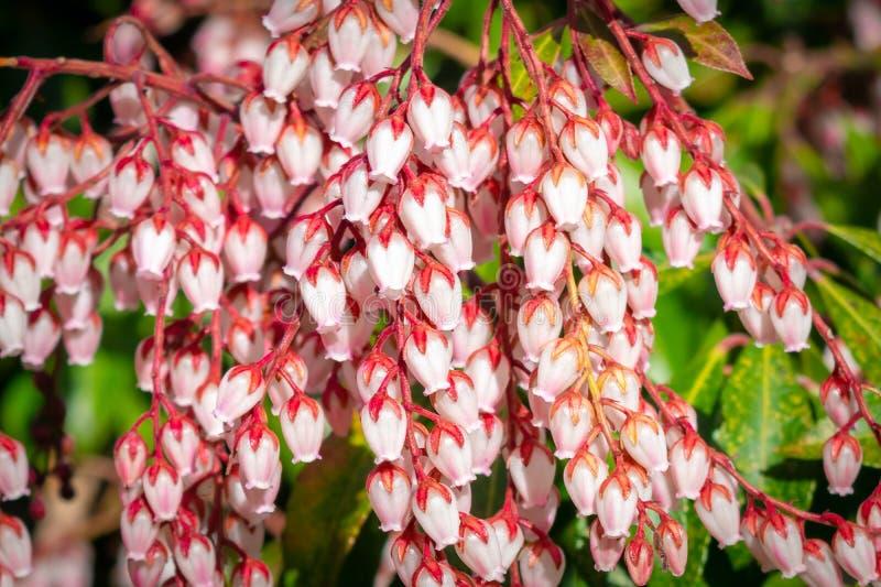 Petites fleurs à bulbes blanches de ressort sur les tiges rouges, parmi les feuilles vertes succulentes de buisson images libres de droits