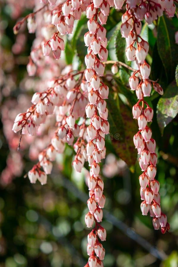 Petites fleurs à bulbes blanches de ressort sur les tiges rouges, parmi les feuilles vertes succulentes de buisson photo stock
