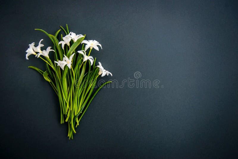Petites fleurs blanches de chionodoxa sur le fond vert-fonc? images stock