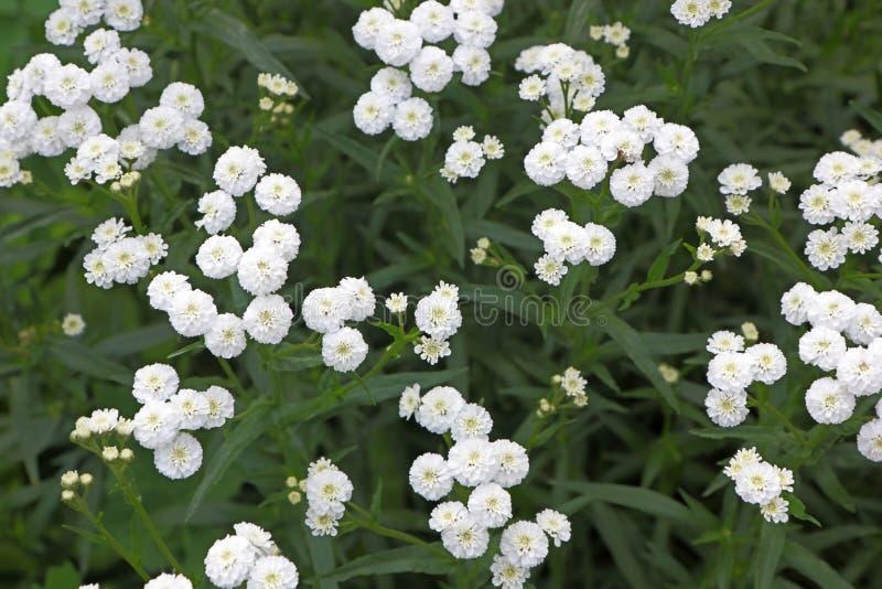 petites fleurs blanches de jardin photo stock image du t te abondant 51803824. Black Bedroom Furniture Sets. Home Design Ideas