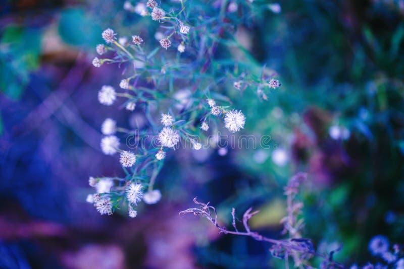 Petites fleurs blanches roses sur le fond trouble pourpre vert-bleu magique rêveur coloré, foyer sélectif mou, macro images stock