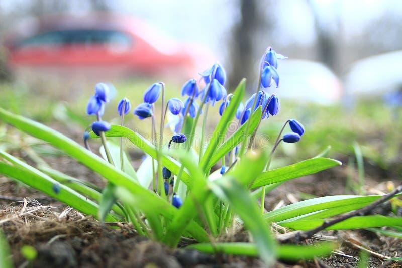 Petites fleurs bleues de ressort photo libre de droits