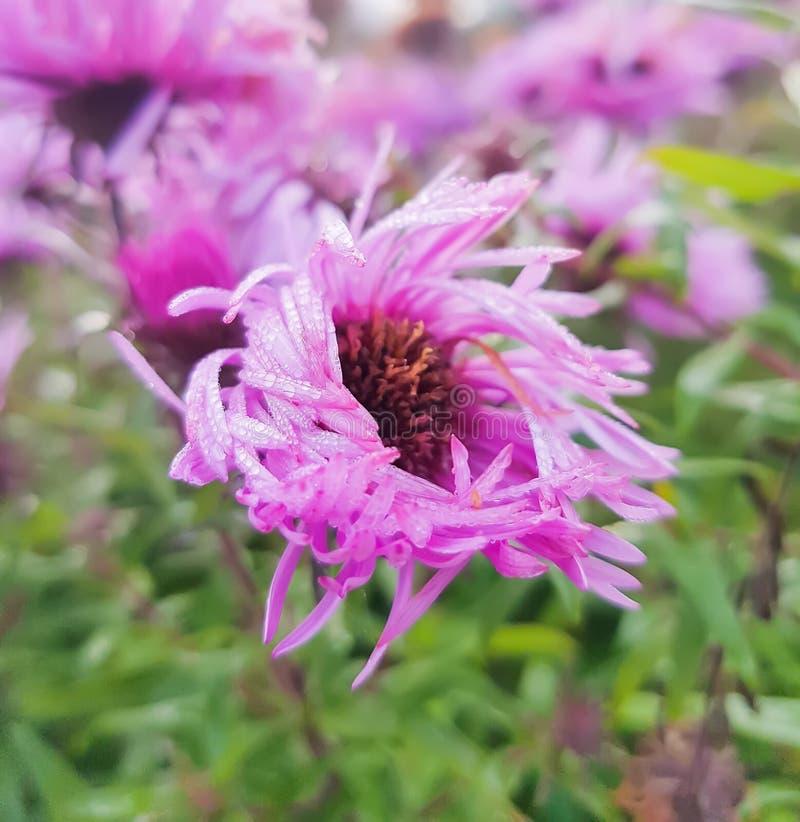 Petites fleurs d'automne d'asters images libres de droits
