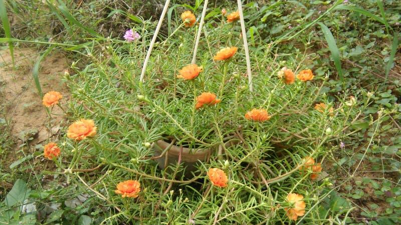 Petites fleurs de belle couleur orange image libre de droits