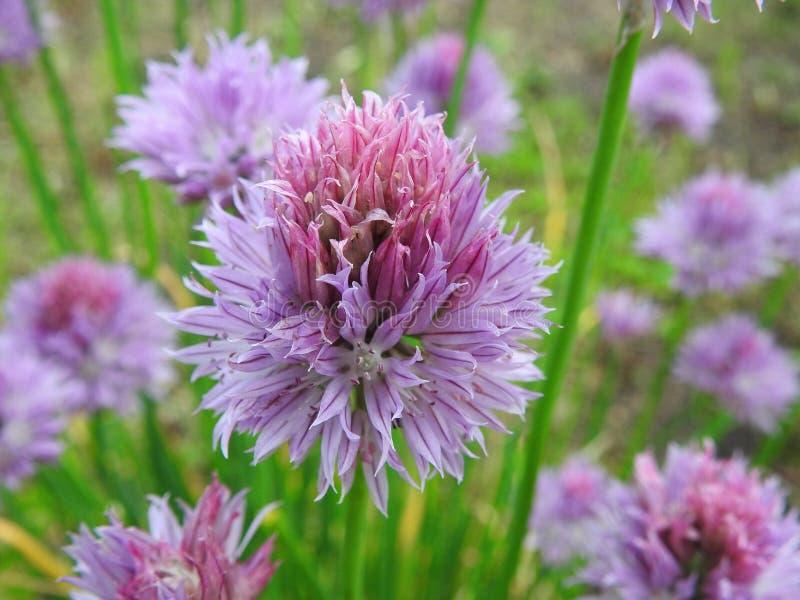 Petites fleurs de floraison d'usines d'oignon en été, Lithuanie photos libres de droits