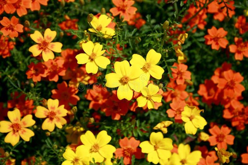 Download Petites Fleurs Jaunes Et Oranges De Jardin Image stock , Image du  lames, fleur