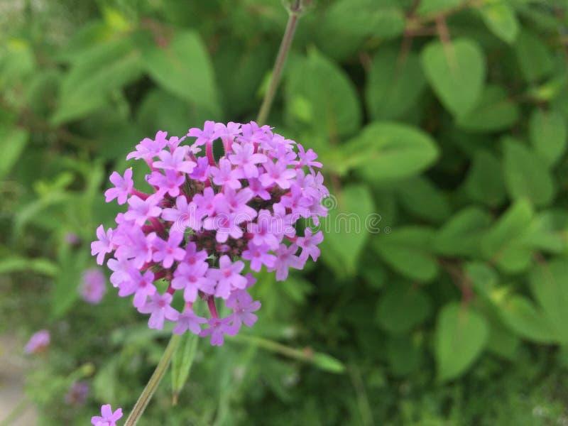 Petites fleurs pourprées images stock