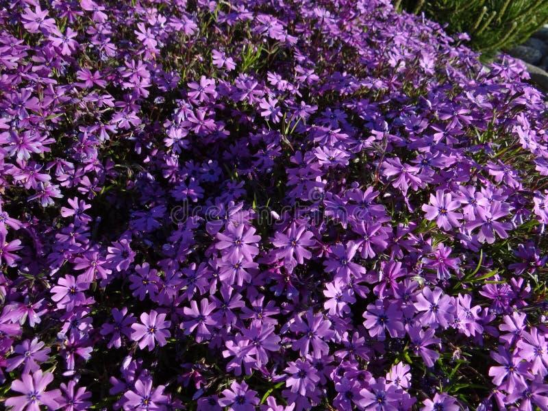 Download Petites fleurs pourprées photo stock. Image du grand - 87704778