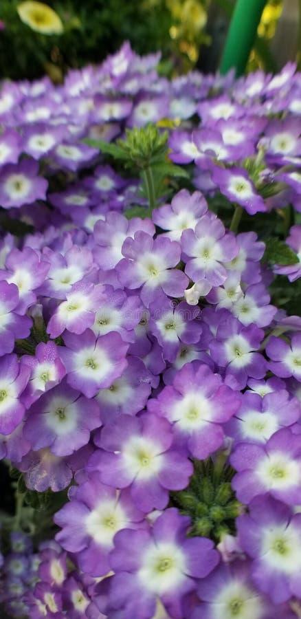 Petites fleurs pourpres photos stock