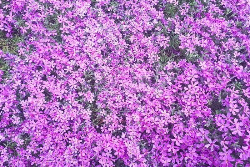 petites fleurs pourpres pour le fond, vue supérieure photos libres de droits
