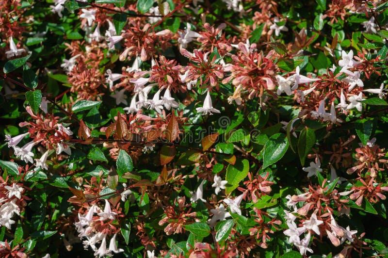 Petites fleurs roses de weigela sur le buisson Plan rapproch?, fond photographie stock libre de droits
