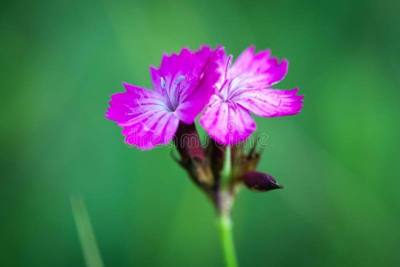 Petites Fleurs Sauvages Roses Sur Le Pré Vert Photo stock - Image du beauté, fond: 51873116