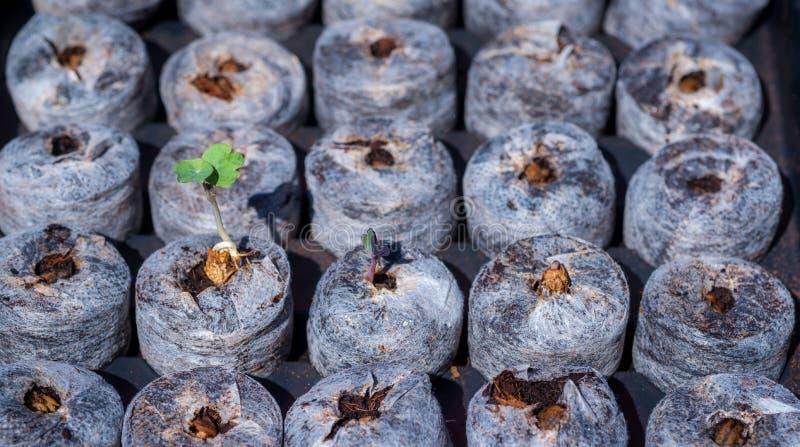 Petites jeunes plantes émergeant juste images libres de droits