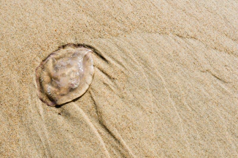 Petites méduses sur la plage à la fin images stock