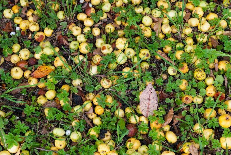 Petites pommes à la surface du sol photos stock