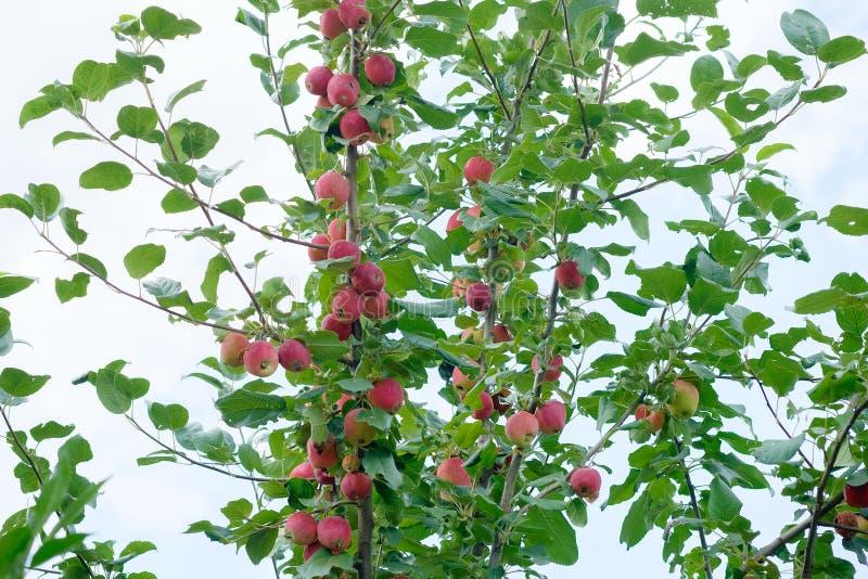 Download Petites Pommes Sur Un Branchement Image stock - Image du jardin, manger: 76083737