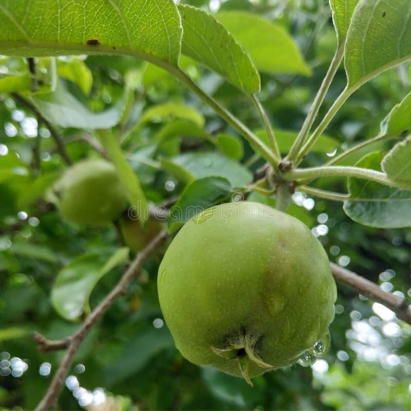 Petites pommes vertes dans le matin illustration stock