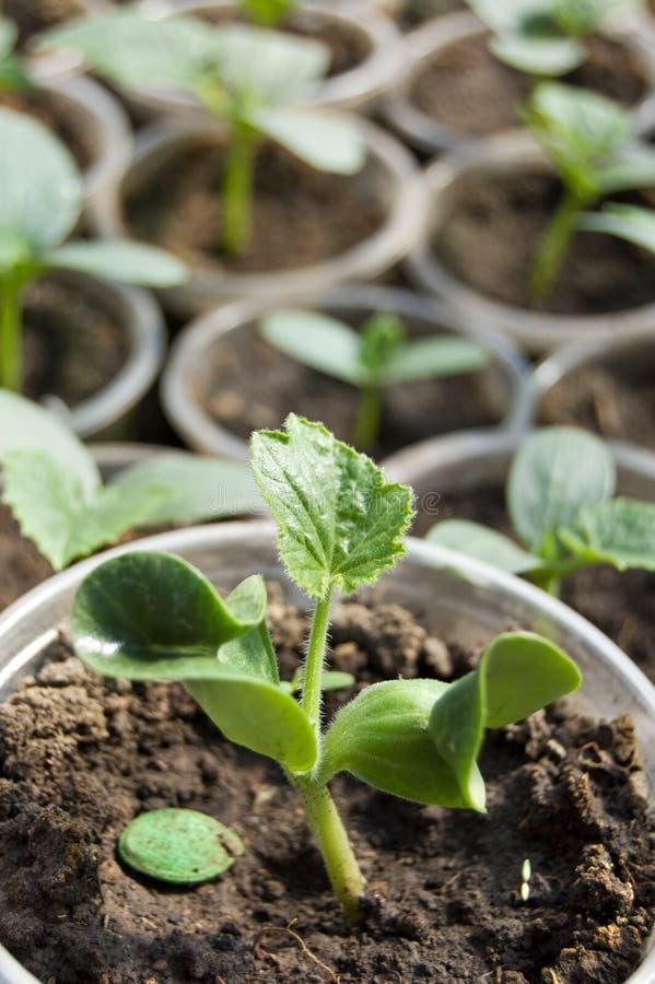 Petites pousses de soja image libre de droits
