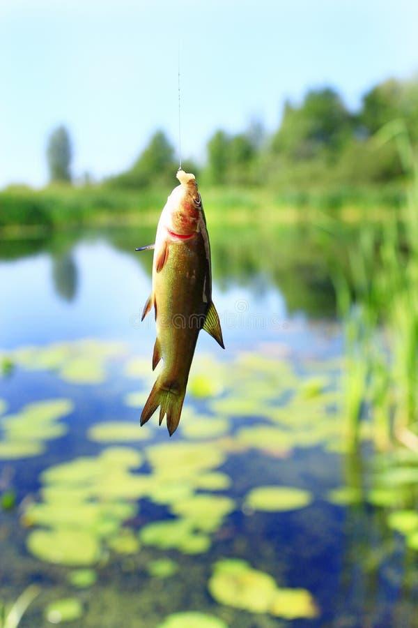 Petites tanches propagées la pêche-tige pêche Poissons pêchés image stock