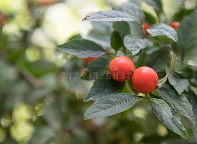 Petites tomates saines rouges fraîches images libres de droits