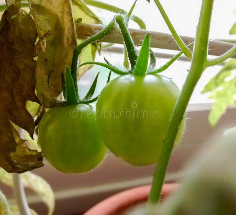 Petites tomates vertes s'élevant sur une vigne dans un pot près de la fenêtre images libres de droits