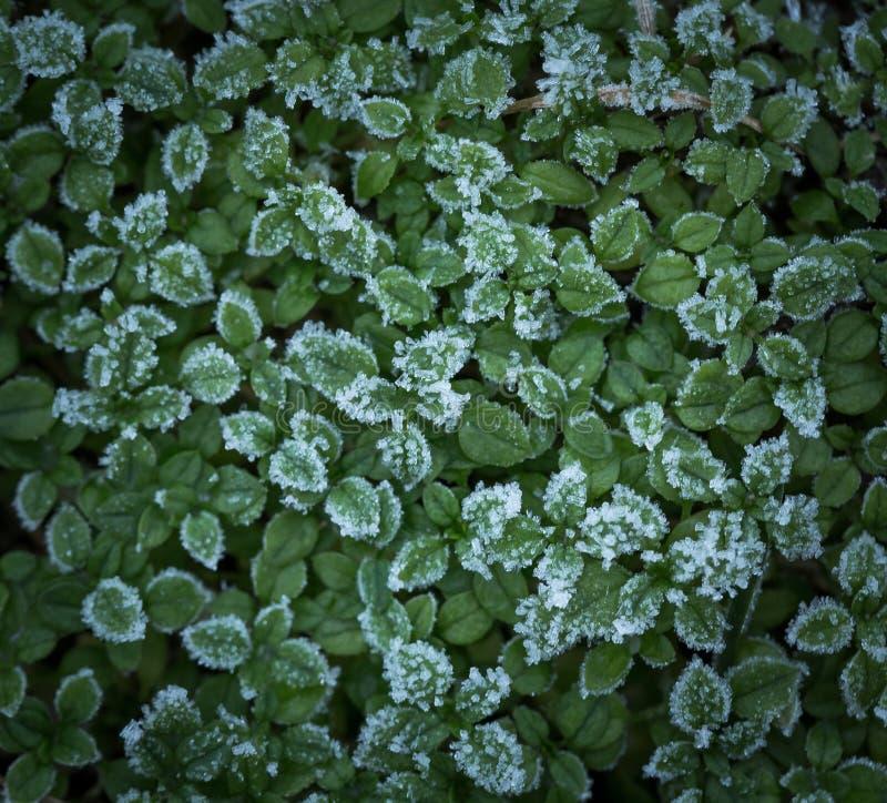 Petites usines vertes avec le givre images stock