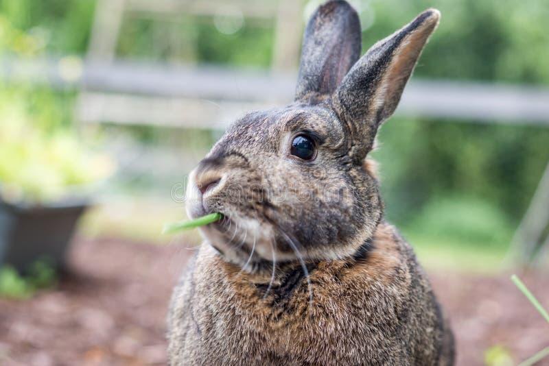 Petits échantillons domestiques gris de lapin des veggies frais dans le jardin en tant que ses mastications de bouche photographie stock libre de droits
