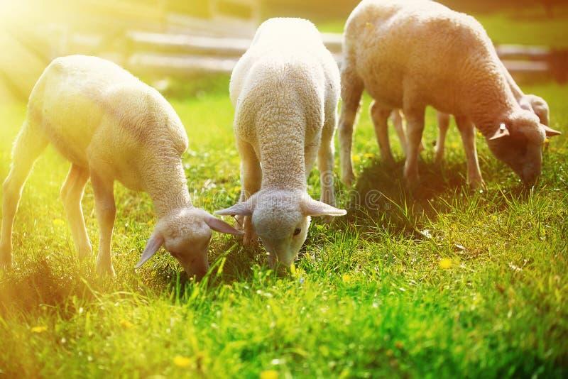 Petits agneaux frôlant sur un beau pré vert avec le pissenlit photographie stock