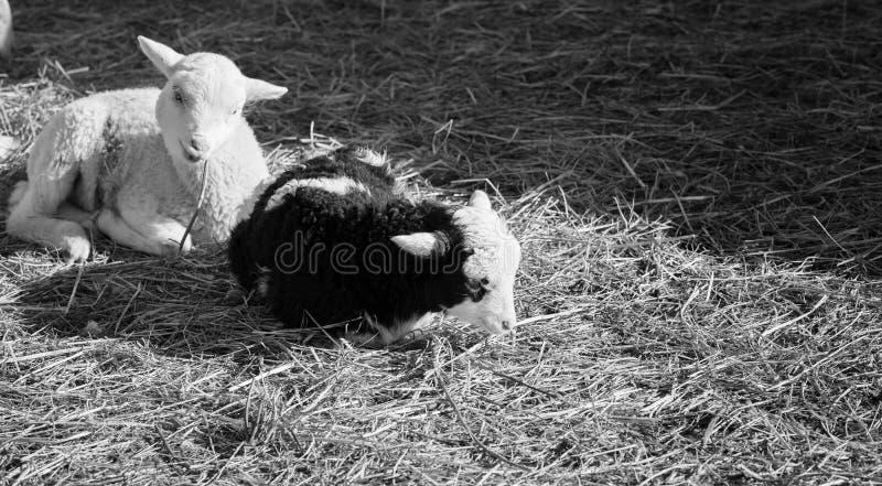 Petits agneaux noirs et blancs s'étendant dans le foin images stock