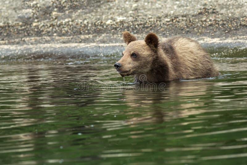 Petits animaux d'ours de Brown sur le rivage du lac Kurile photos stock