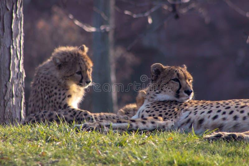 Petits animaux de guépard s'étendant ainsi que leur famille le guépard est k images libres de droits