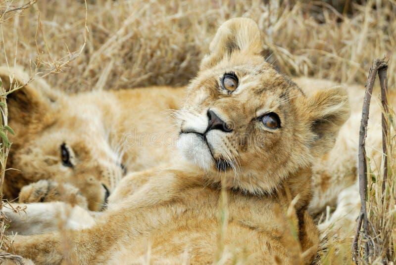 Petits animaux de lion dans la savane, parc national de Serengeti, Tanzanie photographie stock