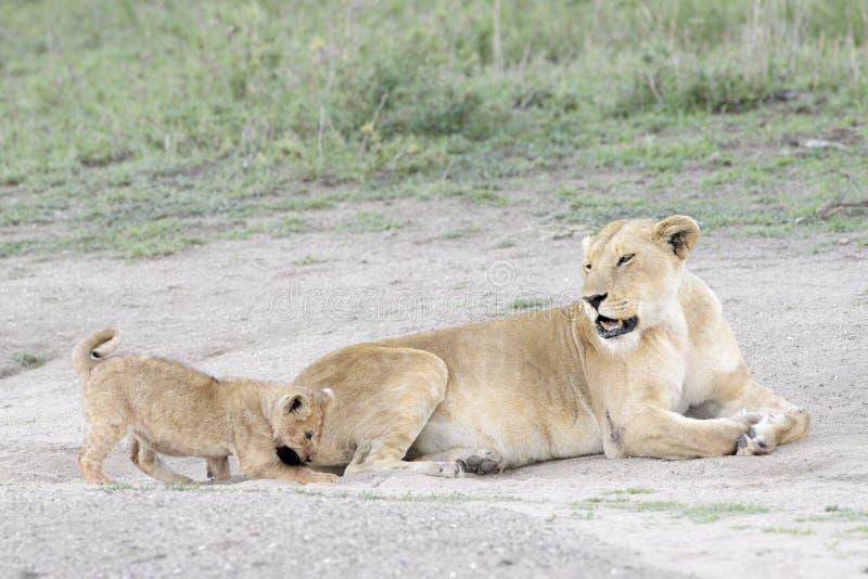 Petits animaux de lion jouant sur la savane, images libres de droits