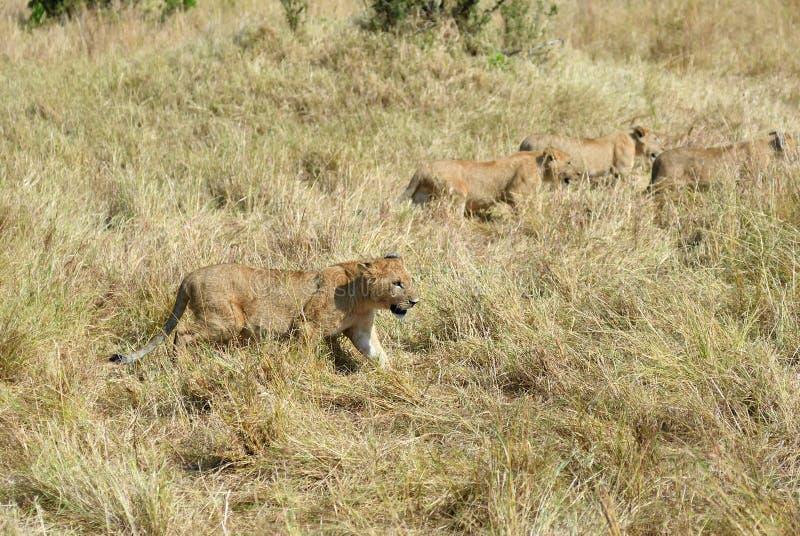 Petits animaux de lions dans le masai Mara, Kenya images stock