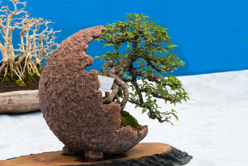 Petits bonsaïs image stock