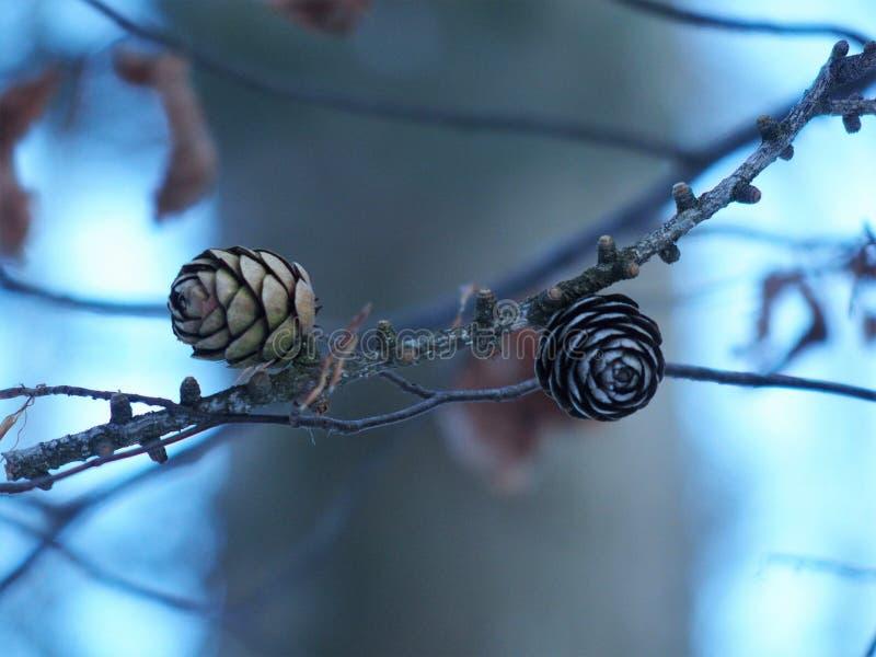 Petits cônes gentils de pin ensemble en harmonie photographie stock
