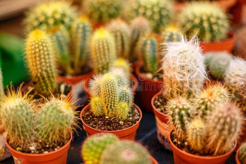 Petits cactus hirsute dans des pots photographie stock
