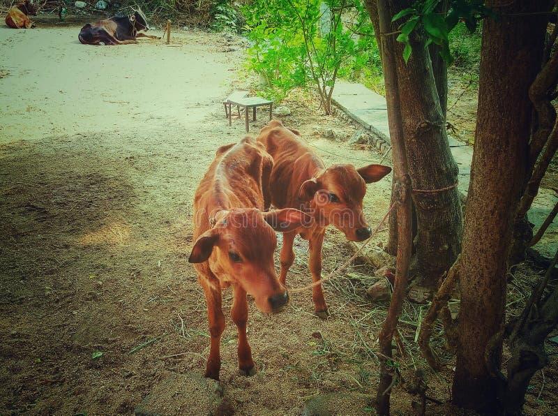 Petits calfs jumeaux identiques mignons images stock