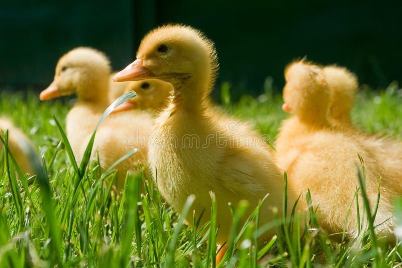 Petits canards photos stock