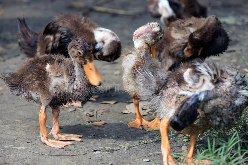 Petits canards ou canards sauvages images stock