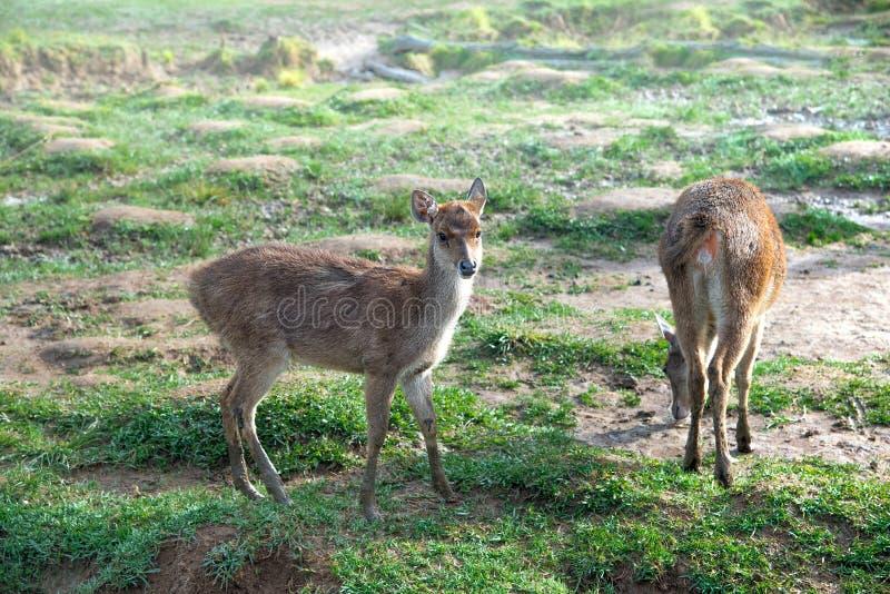 Petits cerfs communs ou daine sur le pâturage ou le pré ou la prairie vert chez Misty Morning During Sunrise Le cerf commun est s image stock