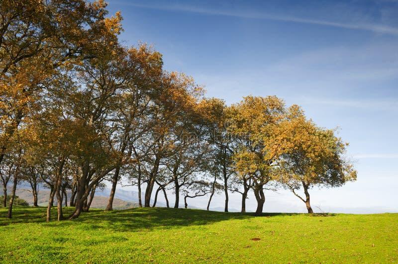 Petits chênes alignés dans un domaine d'herbe verte avec le ciel bleu images libres de droits
