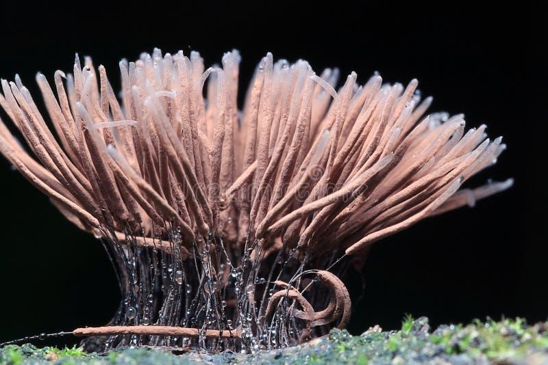 Petits champignons de moule macro photos stock