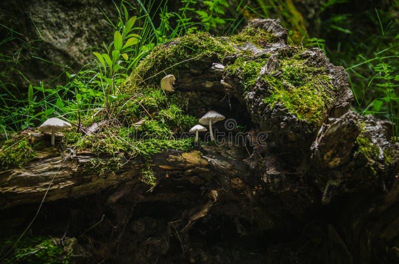Petits champignons sur un vieux tronçon avec de la mousse verte photos stock