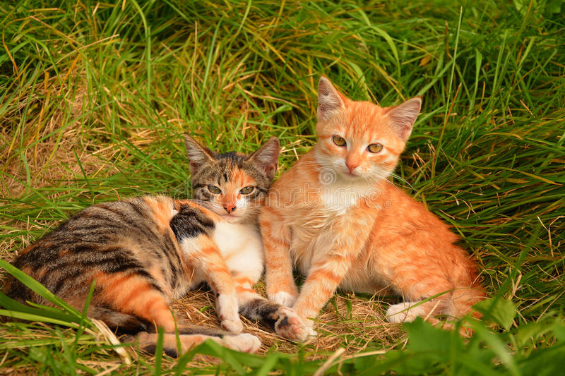 Download Petits chatons photo stock. Image du animaux, pets, herbe - 77162666